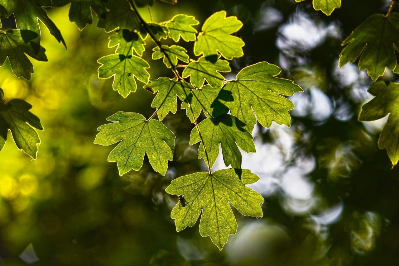 groene bladeren waar de zon doorheen schijnt