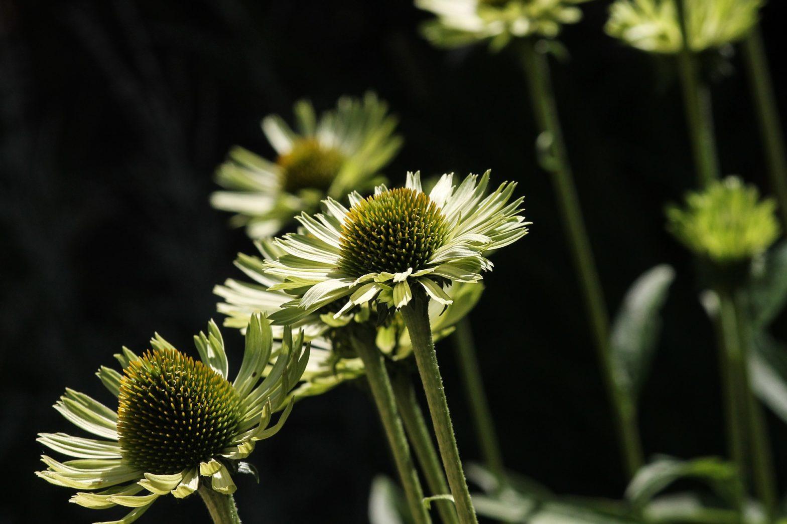 witte bloem op donkere achtergrond