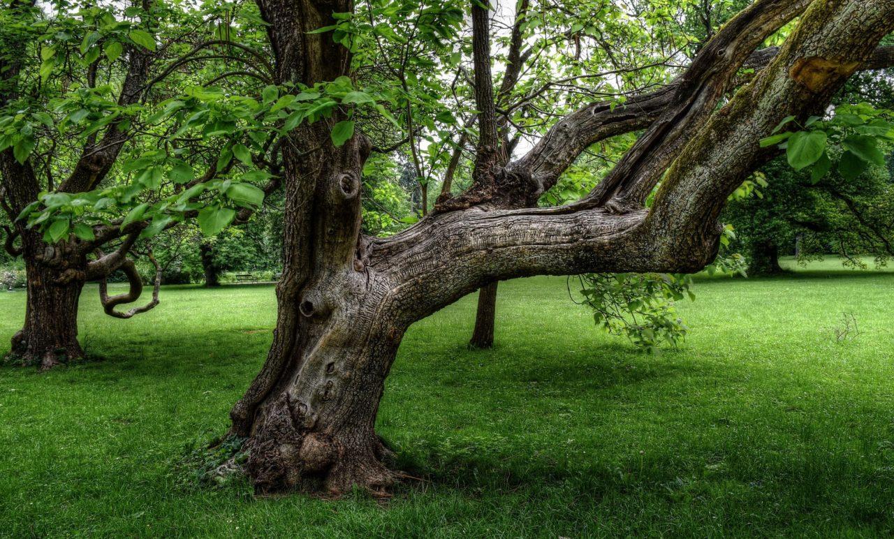 oude boom met knoesten in het gras in zomertijd
